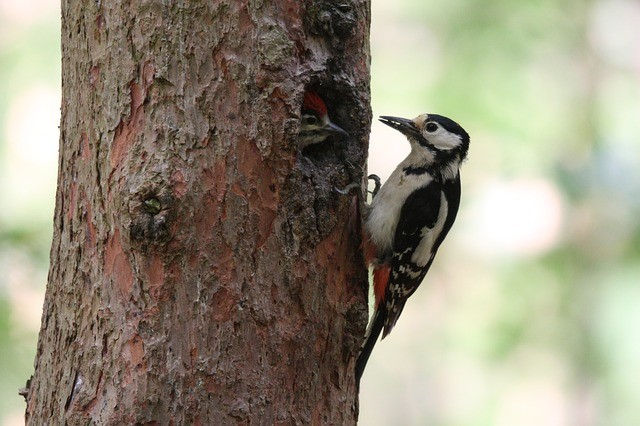 great-spotted-woodpecker-2060019_640.jpg