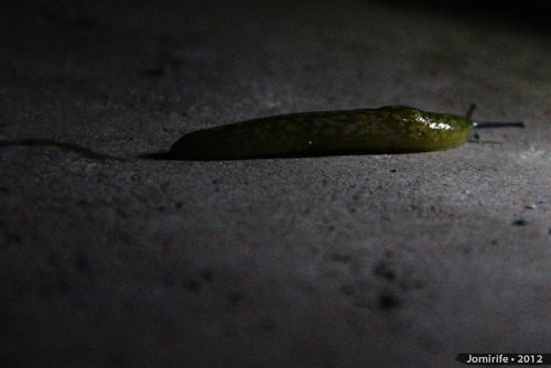 Lesma / Slug (22)