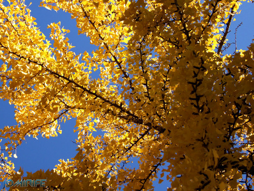 Texturas - Folhas amarelas de Outono (2) [en] Textures - Yellow leaves on autumn
