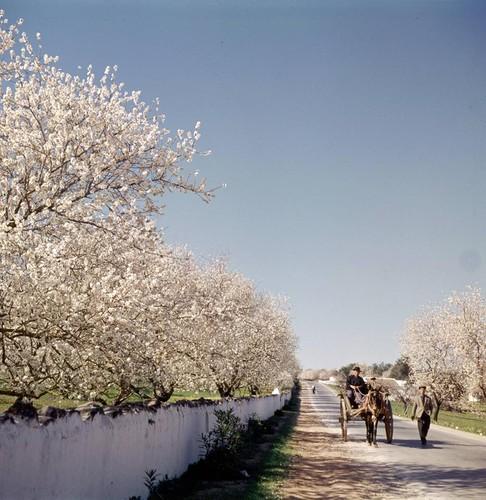 amendoeiras em flor2.jpg