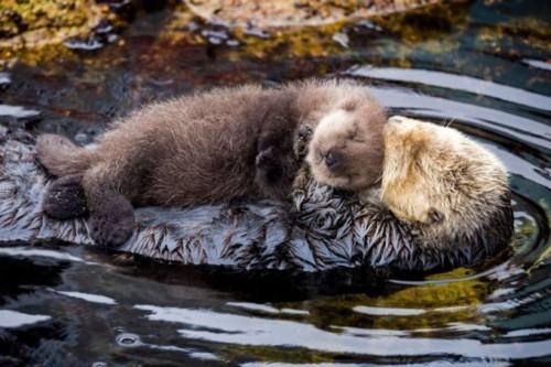 lontra-marinha e o seu bebé