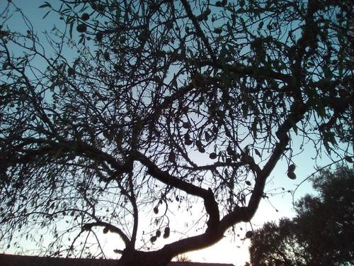 Original DAPL. Amendoeira Verão. 2017.jpg