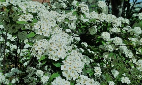 flor branca.jpg