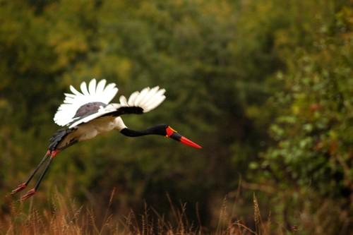 Saddle-Billed Stork_JB.jpg