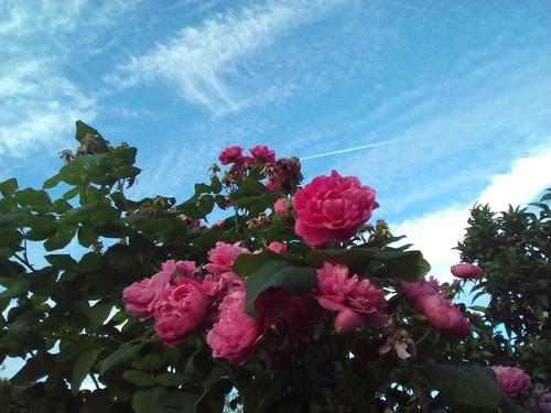 Rosas do nosso quintal Foto original DAPL 2016.jpg