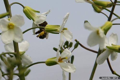 Abelhas a tirar o pólen das flores (9)