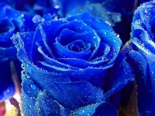 Rosa azul.jpg
