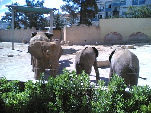 Elefantes-africanos - Elephants