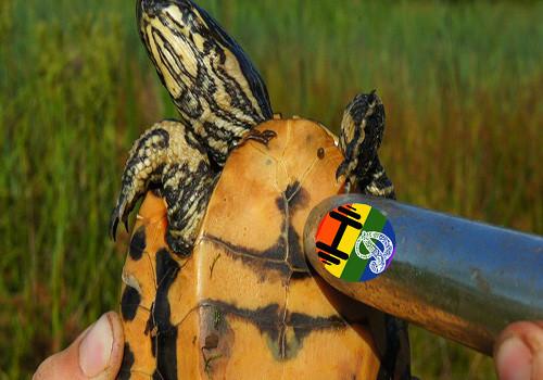HD Tartarugas estimuladas por vibradores.jpg
