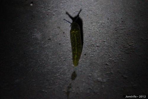 Lesma / Slug (13)