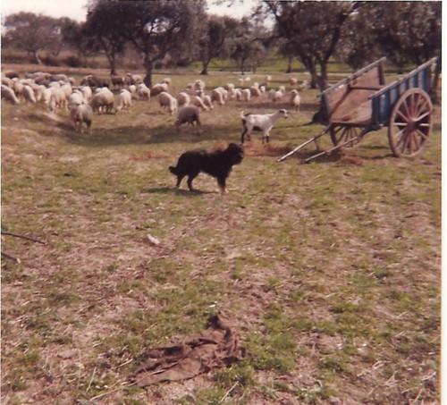 ovelhas, cabra, cão, carro.jpg