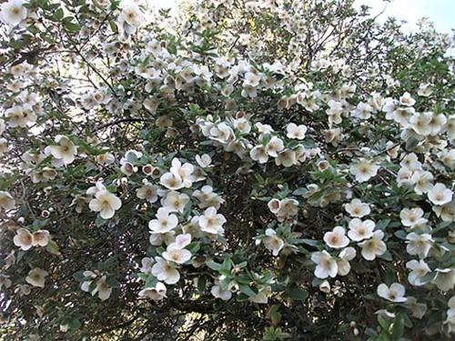 Eucryphia-lucida-Tasmanian-Leatherwood.jpg