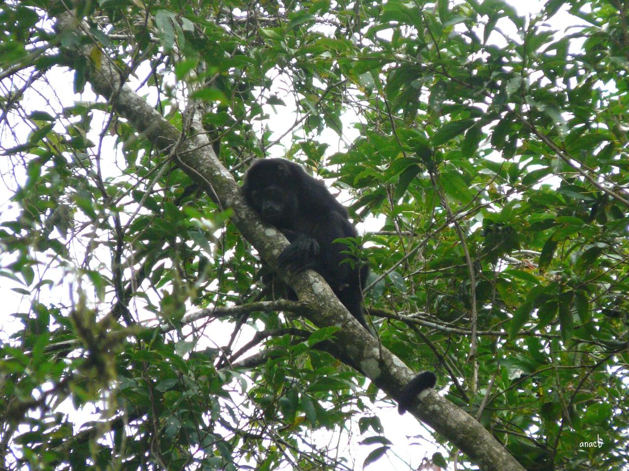 Plantação Geest-macaco uivador (1).jpg