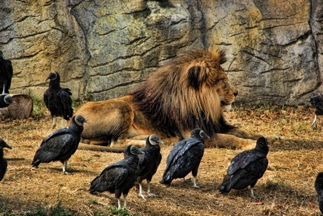 lion-king-of-the-vultures-spicify-640x427.jpg