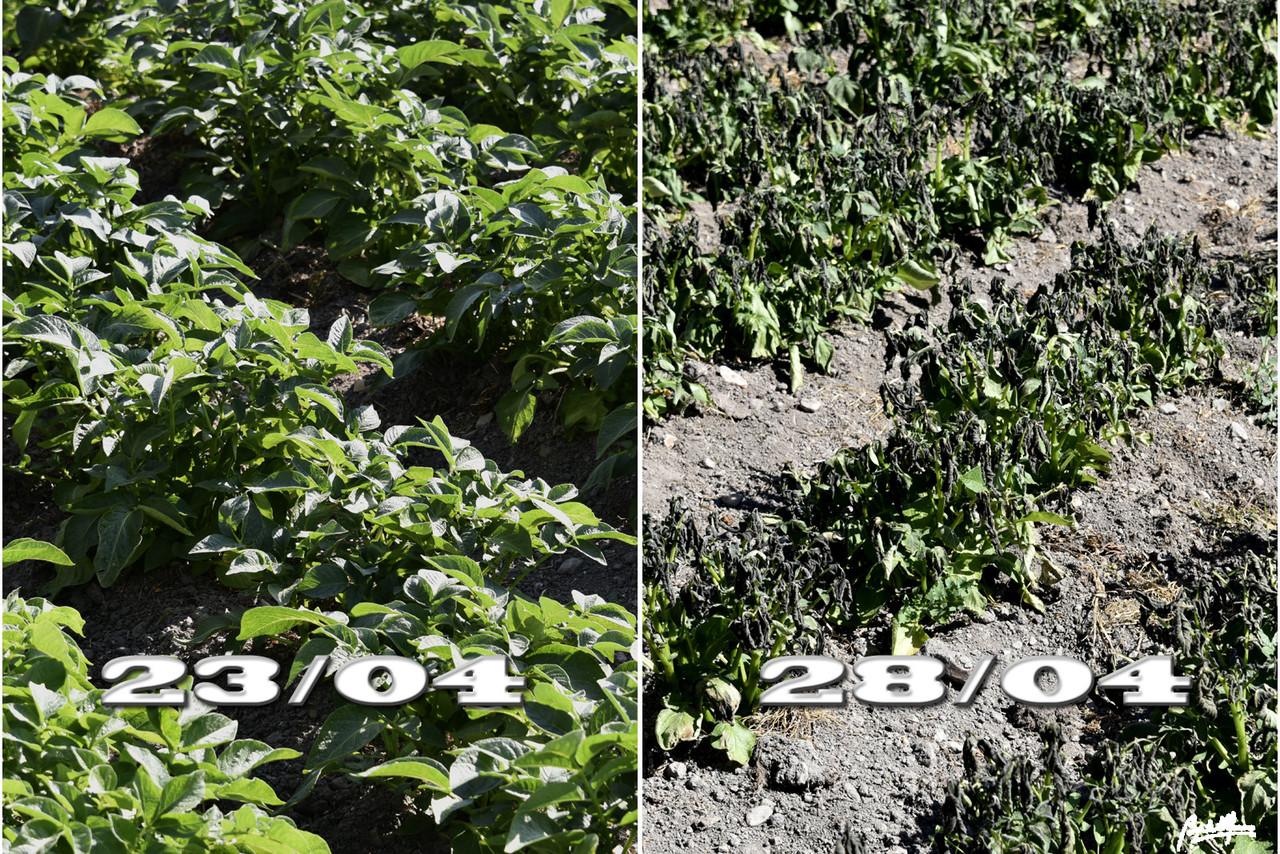 Geada batatas 2304-28042017.jpg
