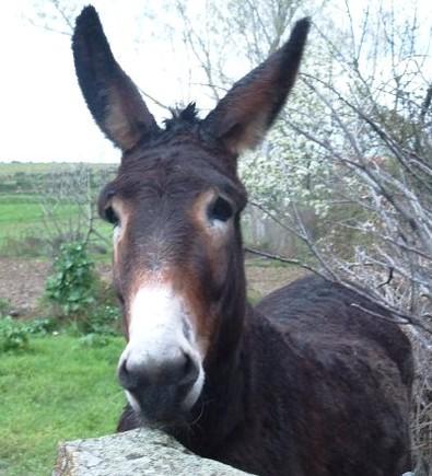 Um simpático exemplar de burro...ou asno...ou jumento...