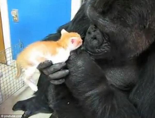 gorila e gatos